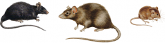 Roof-Rat-Norway-Rat-Common-House-Mouse-Pest-Control-Bathurst