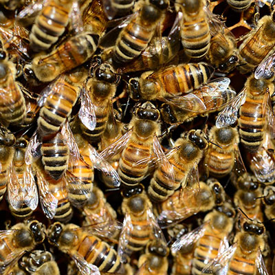 bees-and-wasps-delta-force-pest-control-bathurst-online