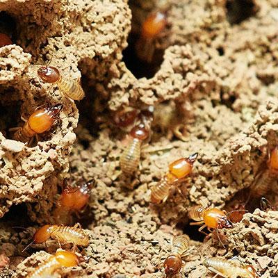 termites-Bathurst-Pest-Control-online400